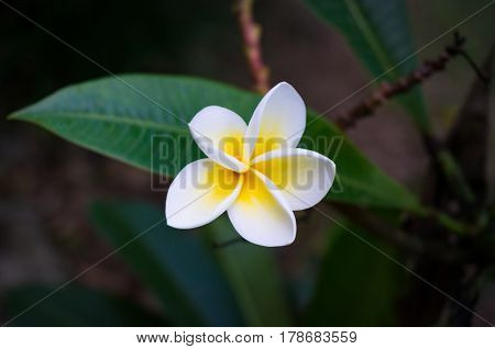 Frangipani, Plumeria Flower And Leaves