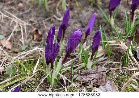 lot of purple crocus flowers in spring