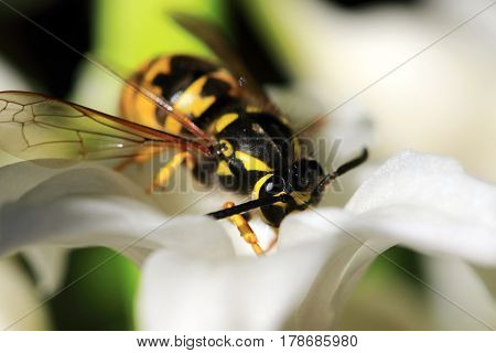 Wasp on a white hyacinth, wasp are most common in Europe