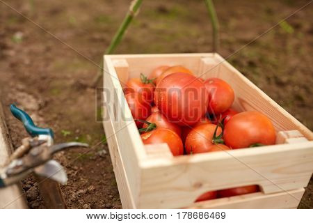 vegetable, gardening and farming concept - red tomatoes in wooden box at summer garden