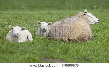 ewe lies in fresh green grass of meadow with two lambs and looks