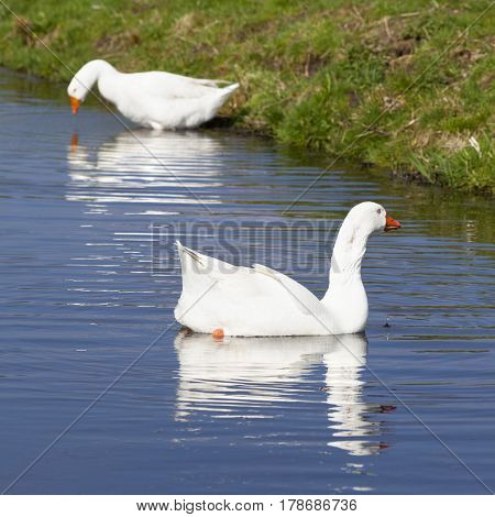 two white geese in blue water of canal next to green meadow