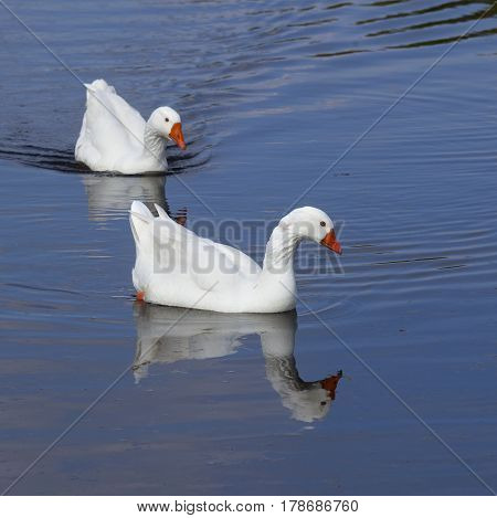 two white geese with orange beaks swim in blue water of canal