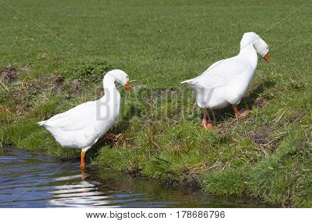 two white geese leave the water and walk into green grass of meadow