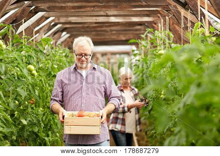 farming, gardening, old age and people concept - senior woman and man with box of tomatoes at greenhouse on farm