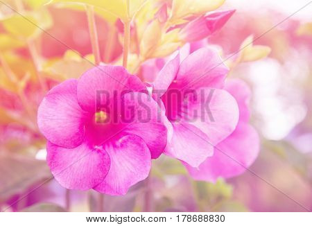 purple allamanda, Allamanda cathartica , golden trumpet, common trumpet vine
