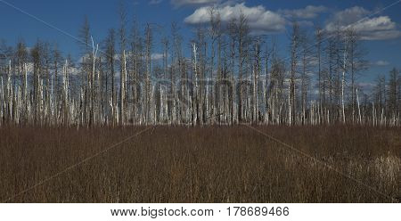 Forest of dead bare trees and dry grass on the foreground.