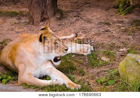 A lioness lying down on the ground