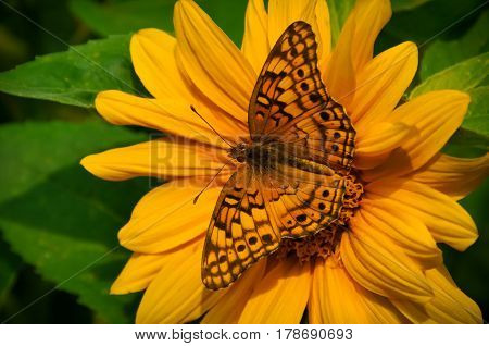 A monarch butterfly on a yellow sunflower
