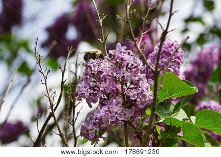 Bumblebee working on a blooming lilac flower