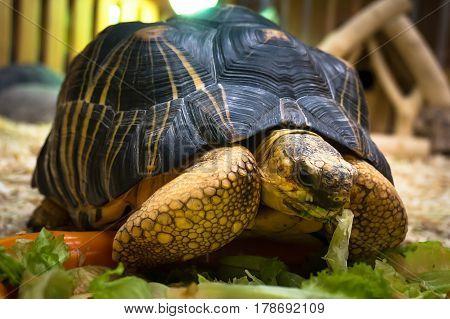 Big Turtle Feeding In The Green Grass.