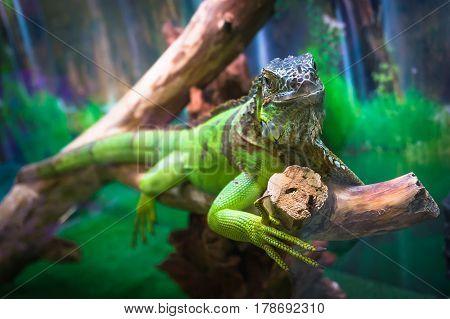 Green Iguana Wild Life Animal.