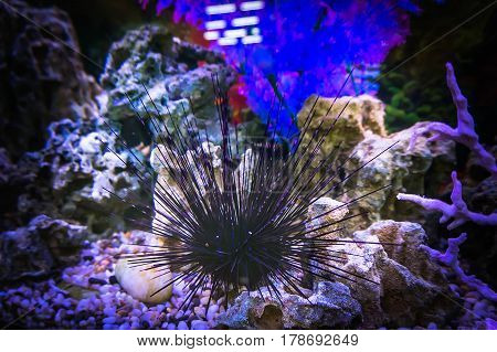 Echinusn, Urchin, Sea-urchin Or Sea Hedgehog. Reef Tank, Marine Aquarium. Fragment Of Blue Aquarium