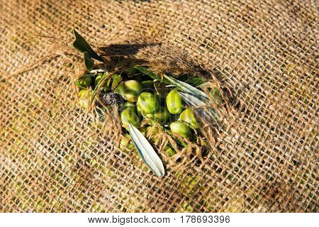 Green olives in a sack after harvest in Peloponnese, Greece