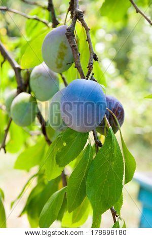 Close Up Of The Plum Tree Branch With Ripe Juicy Fruits On Sunset Light..