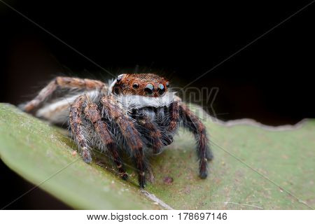 Super macro Jumping spider or Carrhotus viduus