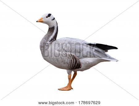 Bar-headed goose, Anser indicus, single bird isolated on white background