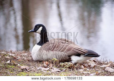 Canada goose, Branta canadensis. Wildlife animal. Single bird resting near lake in the park