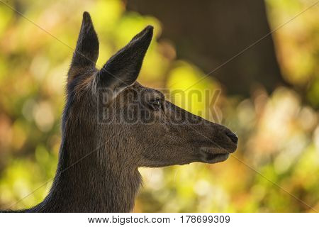 Stunning Hind Doe Red Deer Cervus Elaphus In Dappled Sunlight Forest Autumn Fall Landscape
