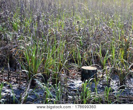 fresh cut tree trunk in marsh grass at low tide