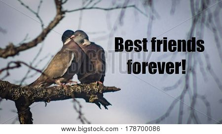Best friends forever. Two doves on a branch hugging eachother