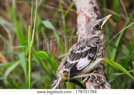 A baby mockingbird on a branch in the grass