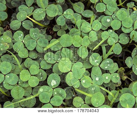 Green clover trefoil shamrock trifolium backdrop background wallpaper, natural with rain drops in low contrast