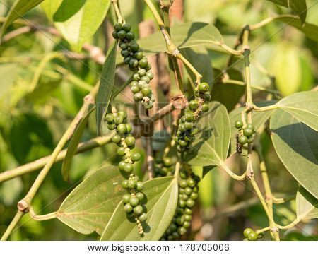 green pepper on the  tree naturel bakground