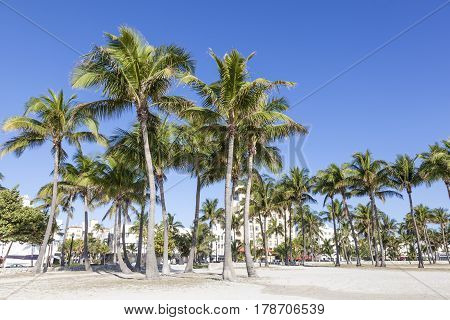 Coconut palm trees in Miami Beach. Florida United States