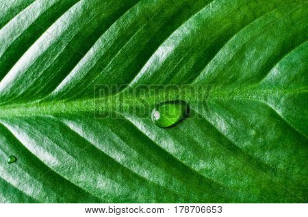 Close up (macro) of the texture of a shiny dark green tropical leaf with a large and small waterdrop on the surface.