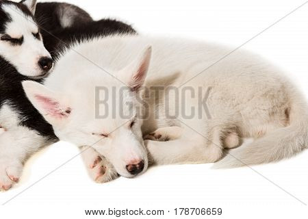Cute little husky puppy isolated on white background. A group of puppies are sleeping in the studio. Husky kids are tired