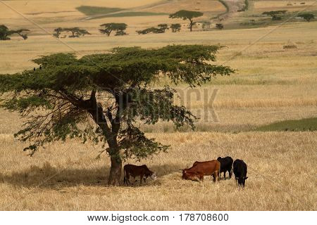 The Grain fields and agriculture in Ethiopia