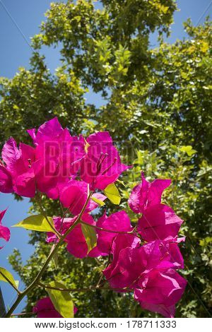 Vivid pink flowers in sunshine in Andalusia Spain