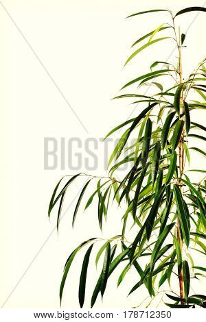 Dracaena lush leaves