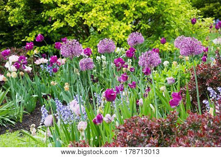 flowerbed with white and purple tulips allium and bluebells