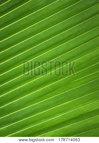 Green leaf pattern of plam tree background