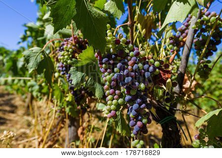 Ripe grapes in the Tuscany Italy - nature background