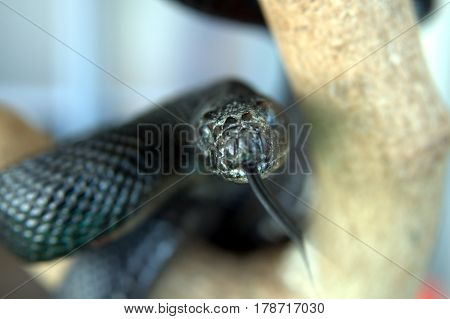 Black Snake with tongue protruding from mouth wrapped around a tree branch macro close up