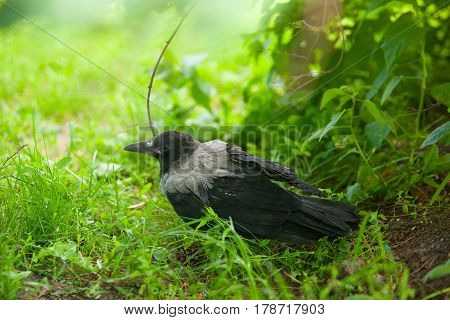 Black Crow On Grass In Forest