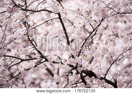 Cherry blossoms in full bloom.Japanese Sakura (Somei-yoshino' or Yoshino cherry ) flowers in spring.