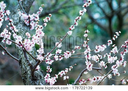 Japanese plum blossoms in early spring. Shallow depth of field.