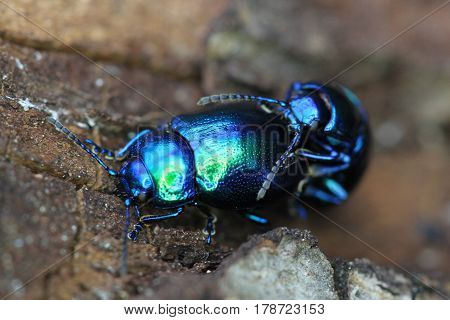 blue beetle bug chafers are having sex
