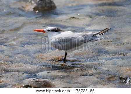 Royal tern bird standing in shallow water with rocks.