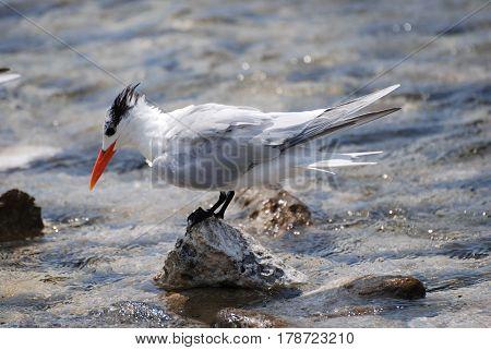 Royal tern balanced on a rock with a bright orange beak.
