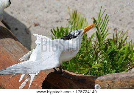 Royal tern bird perched on a fallen log on a beach.