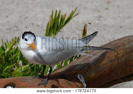 Royal tern bird standing on a fallen log.
