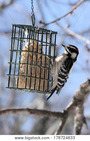 Small black and white woodpecker taking a time out from eating bugs to taste a suet cake.