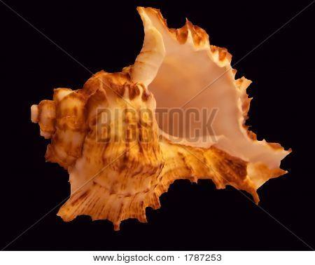 Sea Shell On Plain Background