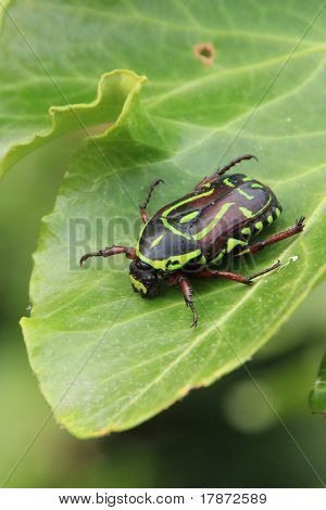Black and Yellow Fiddler Beetle