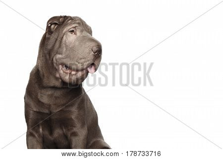 Portrait of Gray Shar-pei Dog smile and looking side on Isolated White Background, profile view